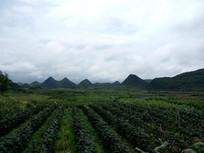 清镇市葡萄种植基地