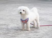白色宠物泰迪小狗