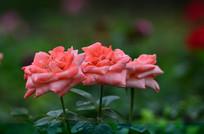 灿烂的玫瑰
