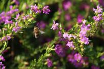 飞在花丛中的蜜蜂