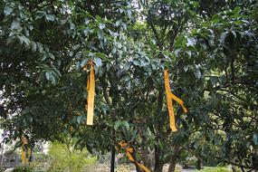 杭州六和塔许愿树一景