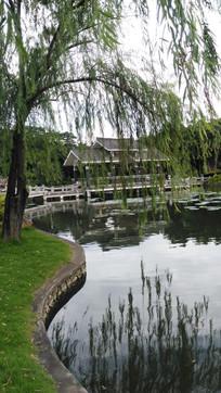 湖边的柳树
