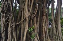 老榕树树冠树干