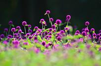 美丽的紫色小花风景
