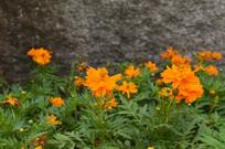 墙边的硫华菊花朵