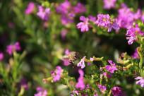 停在花瓣上的蜜蜂