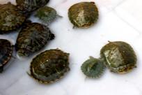 一群小乌龟