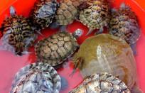 一只鳖和几只乌龟