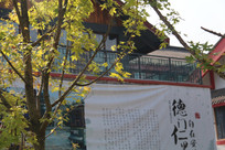 中式别墅前的枫树
