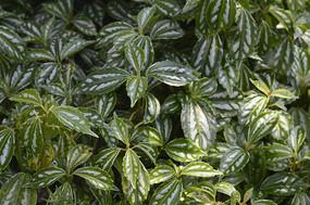 观叶植物白斑叶冷水花