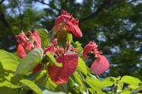 红玉叶金花