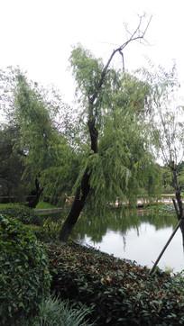 湖边的垂杨柳