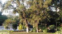 湖边的古树