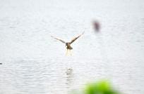 湖上飞翔的鹭鸟