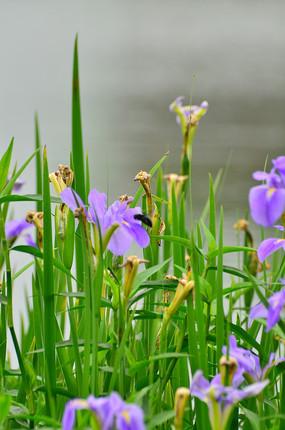 蓝蝴蝶鸢尾花