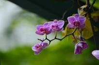 美丽的蝴蝶兰花草