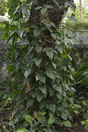 攀援植物粗糙喜林芋