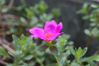 夏季开花的午时花