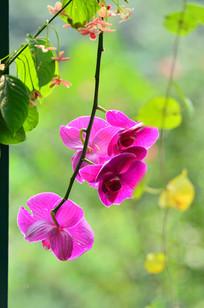 一枝蝴蝶兰花卉图片