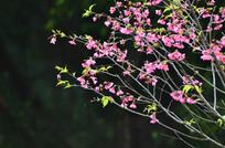 中国红樱花特写