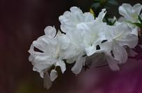白杜娟花卉图片