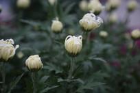 白花的菊花花蕾