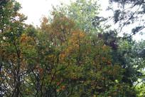 变得金黄的树叶
