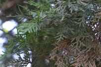 侧柏的鳞形枝叶