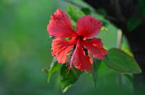 大红花花卉图片