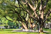 大榕树风景