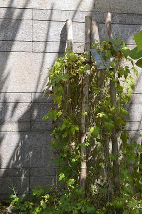 附生习性植物绞股蓝