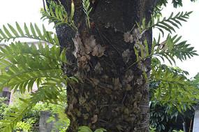 附生于树干上的槲蕨