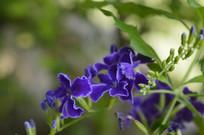 观花花卉金露花