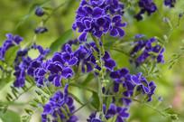 观赏植物金露花