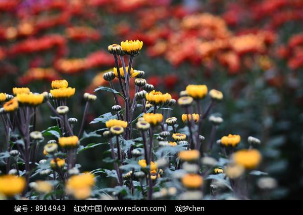 含苞的菊花花骨朵图片