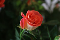含苞未放的玫瑰花
