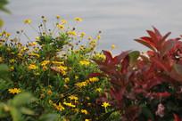 黄金菊与红叶