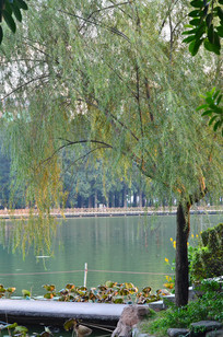 湖边的垂杨柳树风景