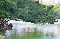 湖边的大榕树