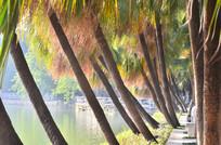 湖边的葵扇树树干