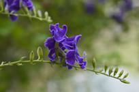 假连翘花朵高清图片