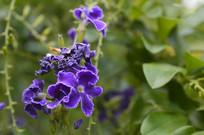 假连翘花朵摄影图片