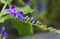 金露花花朵花蕾