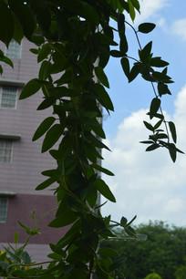 金银藤藤蔓