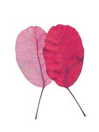 抠图白底红叶