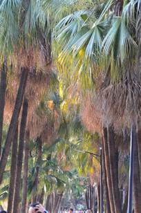 葵扇树风景