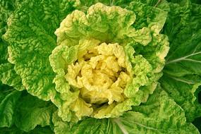 绿色包菜素材