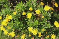 满地的黄金菊