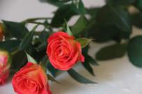 玫瑰花微距特写