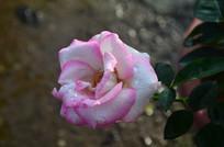 玫瑰花鲜花图片